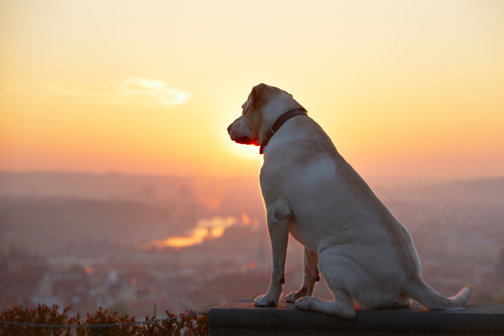 lost dog looking over the horizon at the sunset