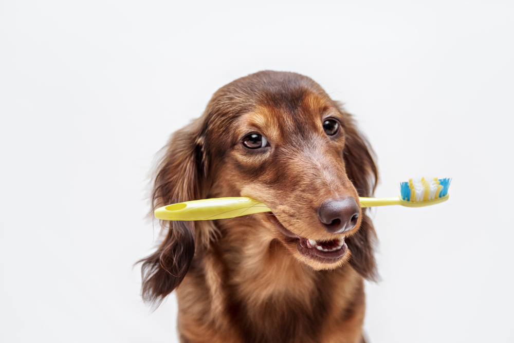 dog holding a tooth brush in his mouth after a pet dental appointment